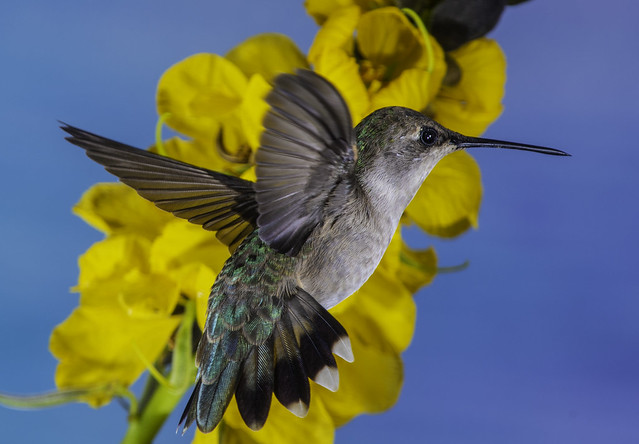 Annas Hummingbird And The Yellow Flower Flyby