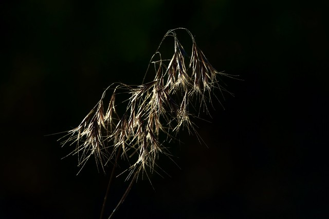 Downy Brome - Natures Fireworks