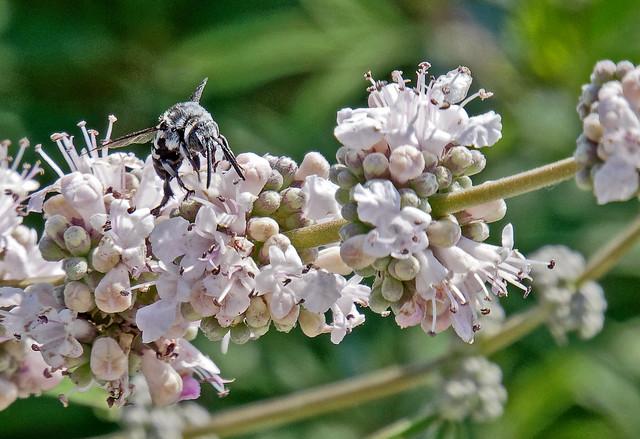 A Visitor To A Flower ( Skopelos - Greece) Panasonic TZ200 (DxO Edited)