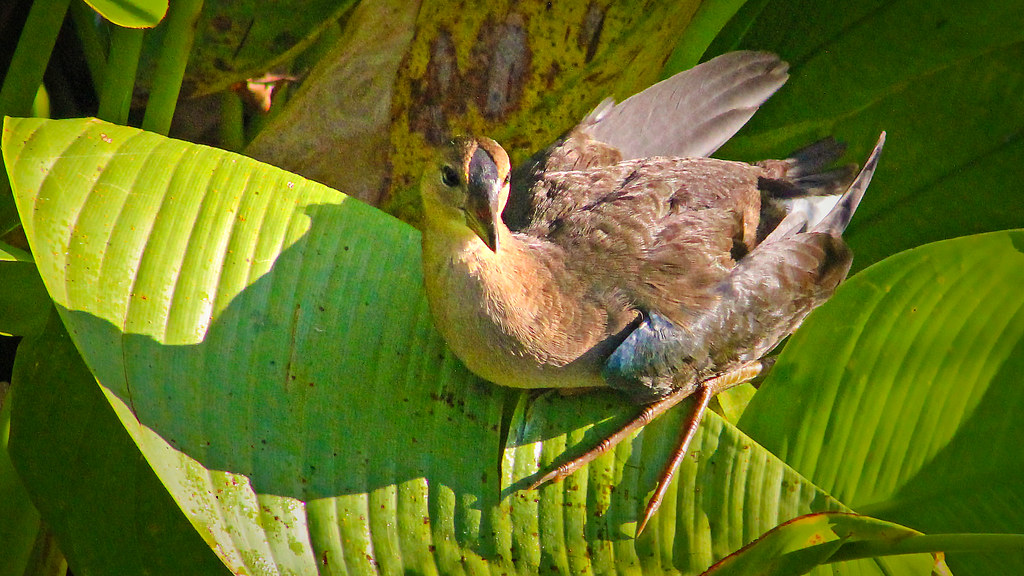 2020.06.18 Sweetwater Wetlands Purple Gallinule (juvenile) 1