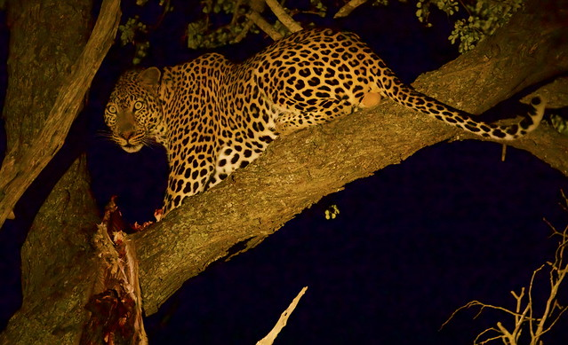 A male Leopard (Panthera pardus), feeding at night on the remains of its kill
