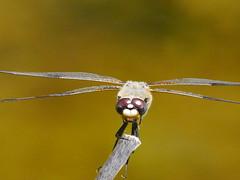 naturgucker.de posted a photo:Vierfleck (Libellula quadrimaculata)(c) Thomas Hein