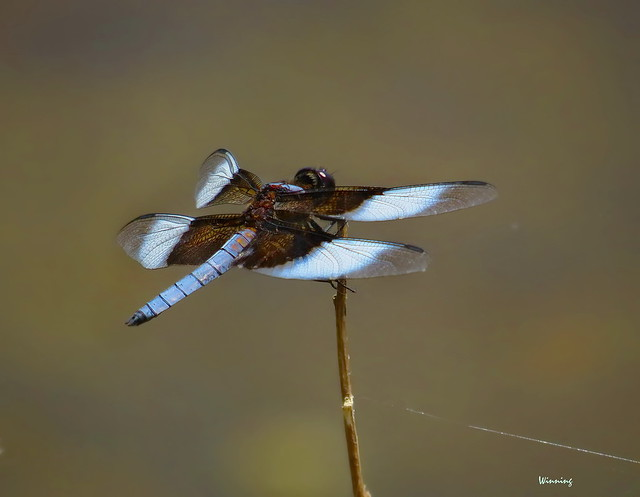 Widow Skimmer 6456