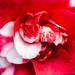 Red & White Camellia, 2.20.20