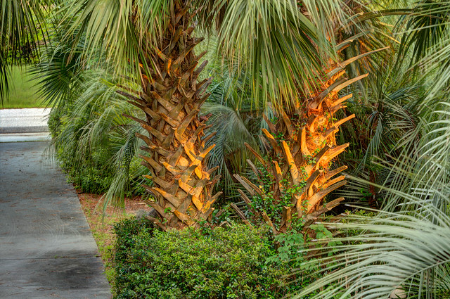 Cabbage palms by the driveway