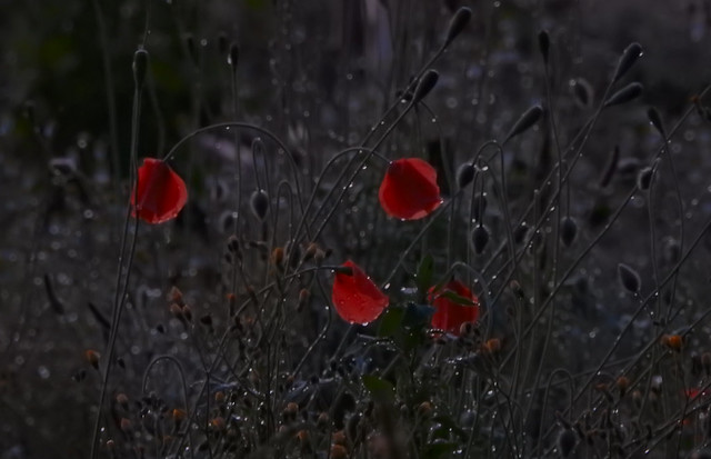 poppies in the evening after the rain