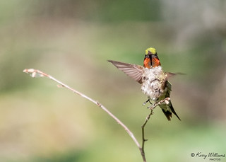 Ruby-Throated-Hummer_M_0M9A8506
