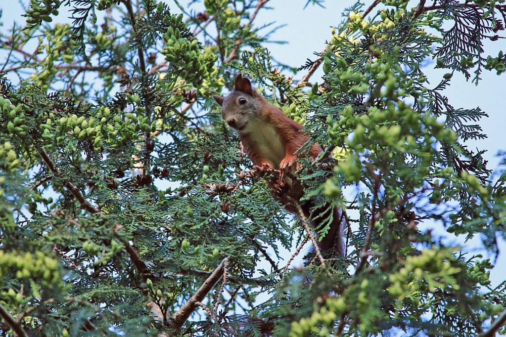 20294.Eichhörnchen in der Krone