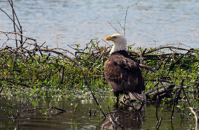 Nothing here to see , move on -- Bald Eagle