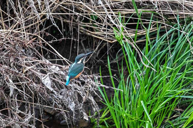 Kingfisher カワセミ