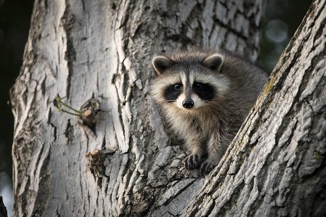Cute but trouble! Urban Juvenile Raccoon
