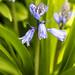 Hyacinthoides, 3.13.20