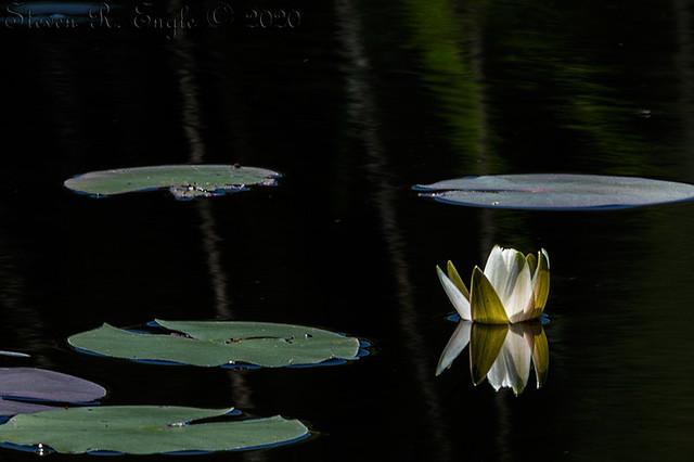 Waterlily Bud Opening_193