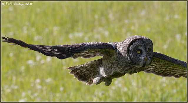 Great Grey Flyby