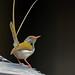 common taylor bird