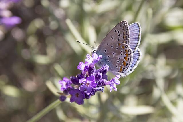 Hauhechel-Bläuling auf Lavendel - Common Blue on lavender
