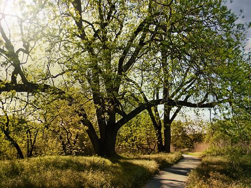 coyote california ca coyotecreek bicycletrail trail park tree coyotecreekparkwaycountypark countypark bayarea sanfranciscobayarea spring sun landscape flickrgeotaggers