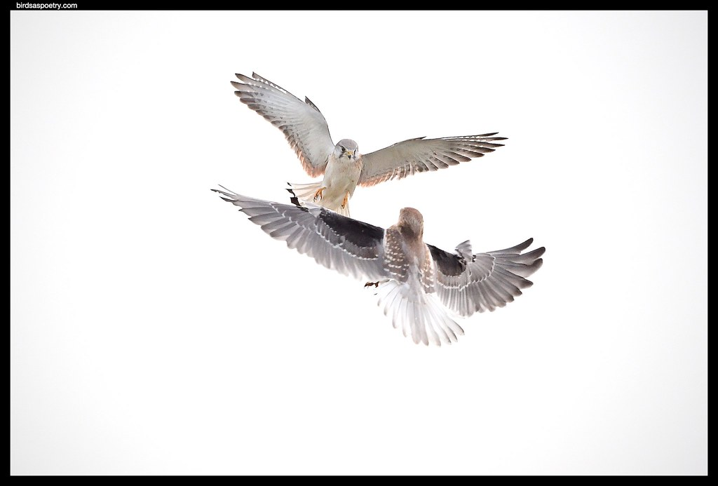 Black-shouldered Kite,Nankeen Kestrel- Not on My Watch