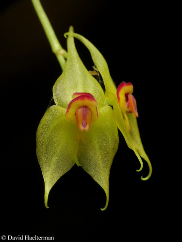 "The ""big"" Lepanthes elata (flower 1cm) pictured without flash in situ, just the sun on the flower, another jewell from tthe very humid forests of Valle del Cauca department in Colombia. Distribution: Costa Rica, Panama, Colombia and Bolivia from 1500 to 2"