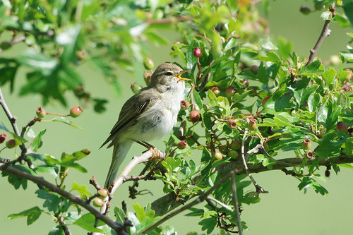 devilsdyke newmarket phylloscopustrochilus suffolk wild bird nature wildlife willowwarbler