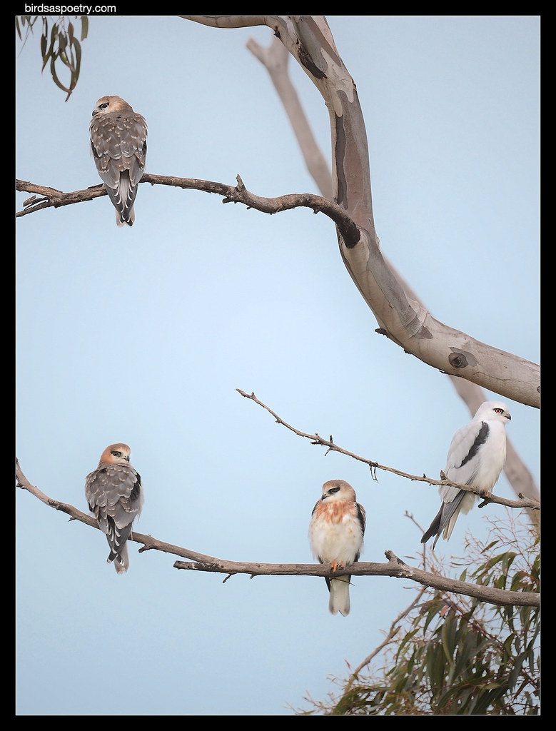 Black-shouldered Kite- The Waiting Game