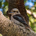 Laughing Kookaburra in a Banksia Tree by Merrillie