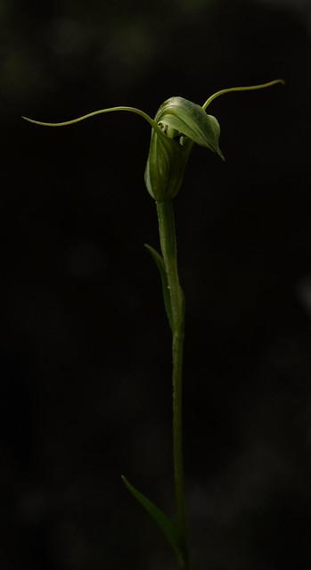 Trowel leaved greenhood orchid (Pterostylis trullifolia): 52 in 2020 #12 Something weird