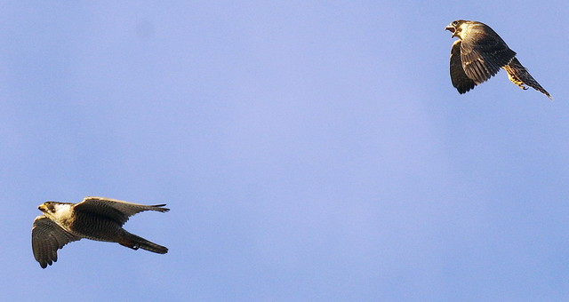 One Peregrine Berates Another in Fight #Southwark #London IMGP8995