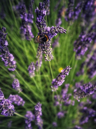 Inside lavender. | by marfis75