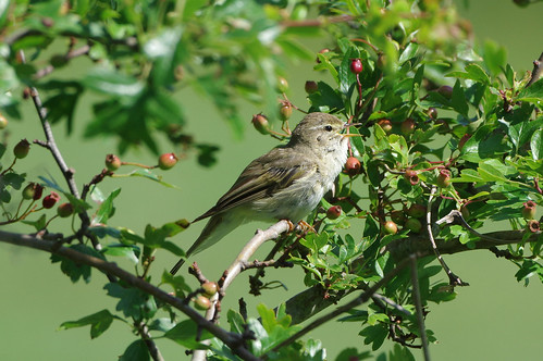 devilsdyke newmarket phylloscopustrochilus suffolk wild bird nature wildlife willowwarbler