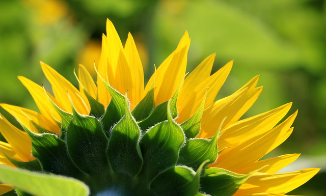 Girasole di spalle - Sunflower from the back