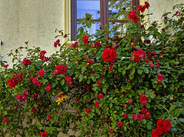Rosen vor dem Fenster