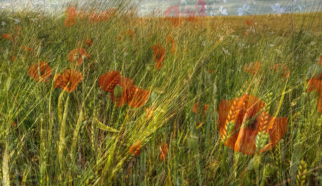 Fields of Summer ....