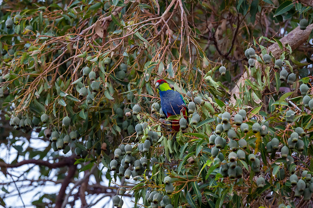 Parrot in the Backyard Tree