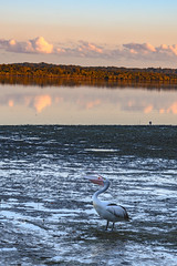 Reflections at Sunset with a Pelican in Flight