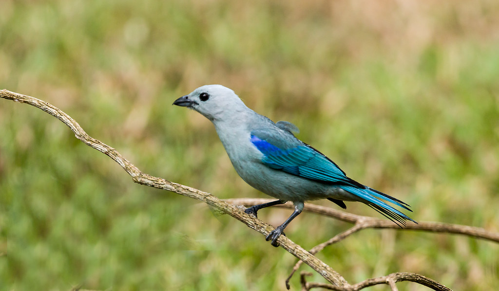 0P7A9111   Blue-gray Tanager, Panama