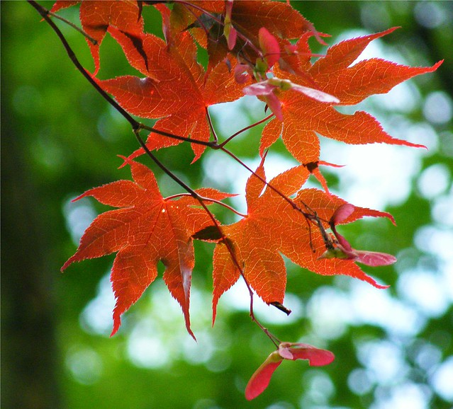 Bokeh Maple Leaves