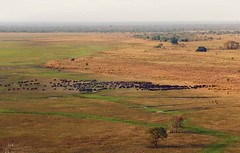 Central African buffaloes from the air, Zakouma National Park, Chad