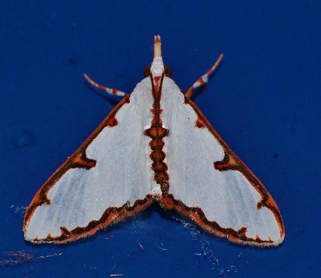 Fancy moth Cirrhochrista sp Spilomelinae Crambidae Mandalay rainforest Airlie Beach P1157442