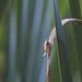 Karcsú borostyánkőcsiga (Oxyloma elegans)