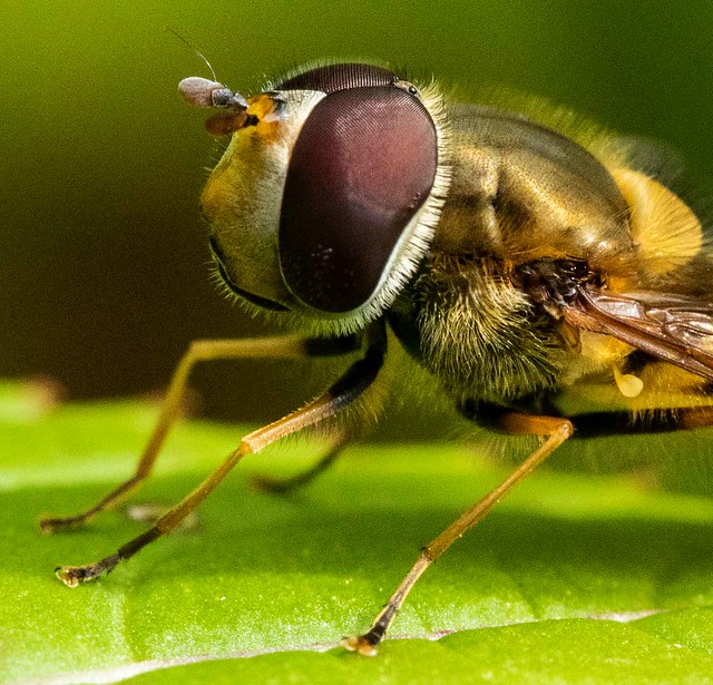 Hoverfly in close-up