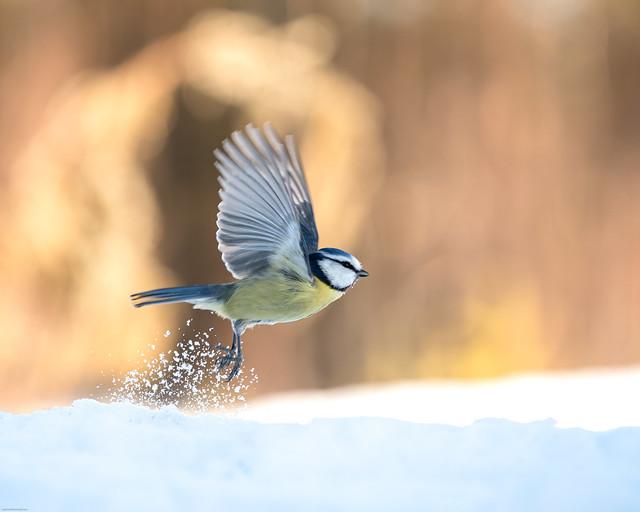 Fly Blue Tit, fly!