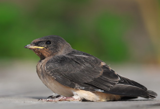 Cliff Swallow (Petrochelidon pyrrhonota) - just out of the nest