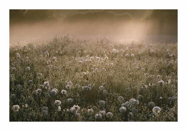 Dandelion Gold - Fuji Sensia 100 exp*