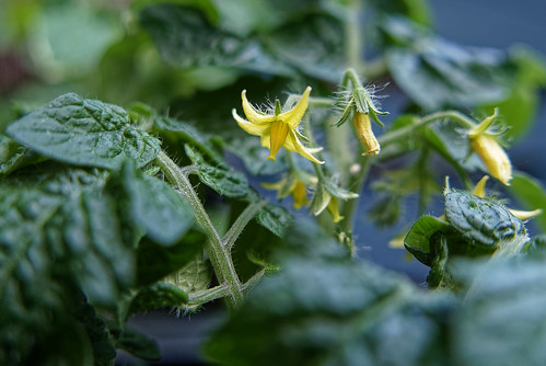 nature plants usefulplants ornamentalplants terrace balcony tomato solanumlycopersicum balconyred seasons spring summer