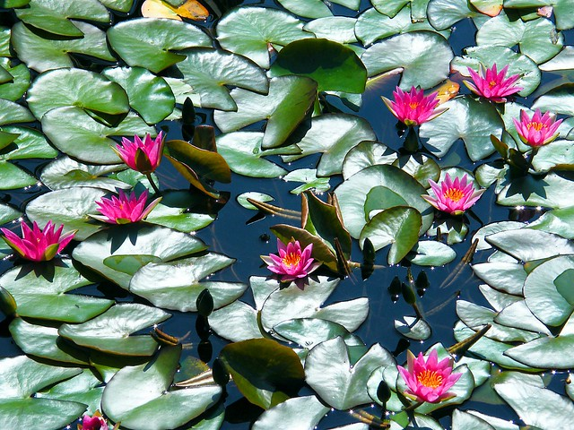 Lovely Red Water Lilies