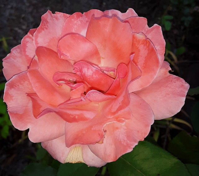 Pink Flower On A Sunday.