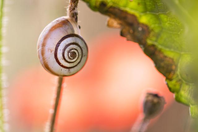 Escargot , Snail