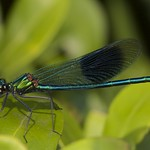 Banded Agrion, Male.