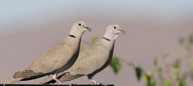 5DM40888 Eurasian Collared-Dove in my backyard. Corona, California USA